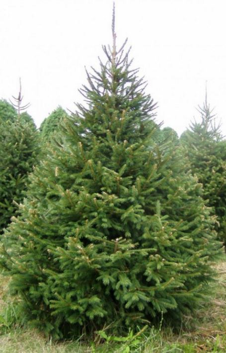 ChristmasTreesStaffordshire